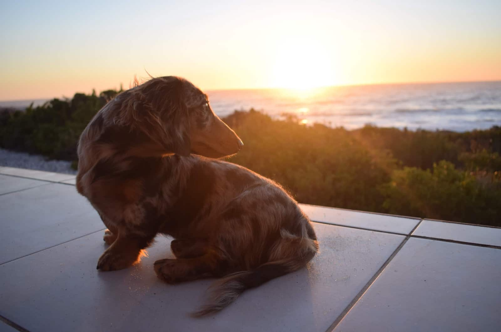 dapple dachshund photographed during a sunset
