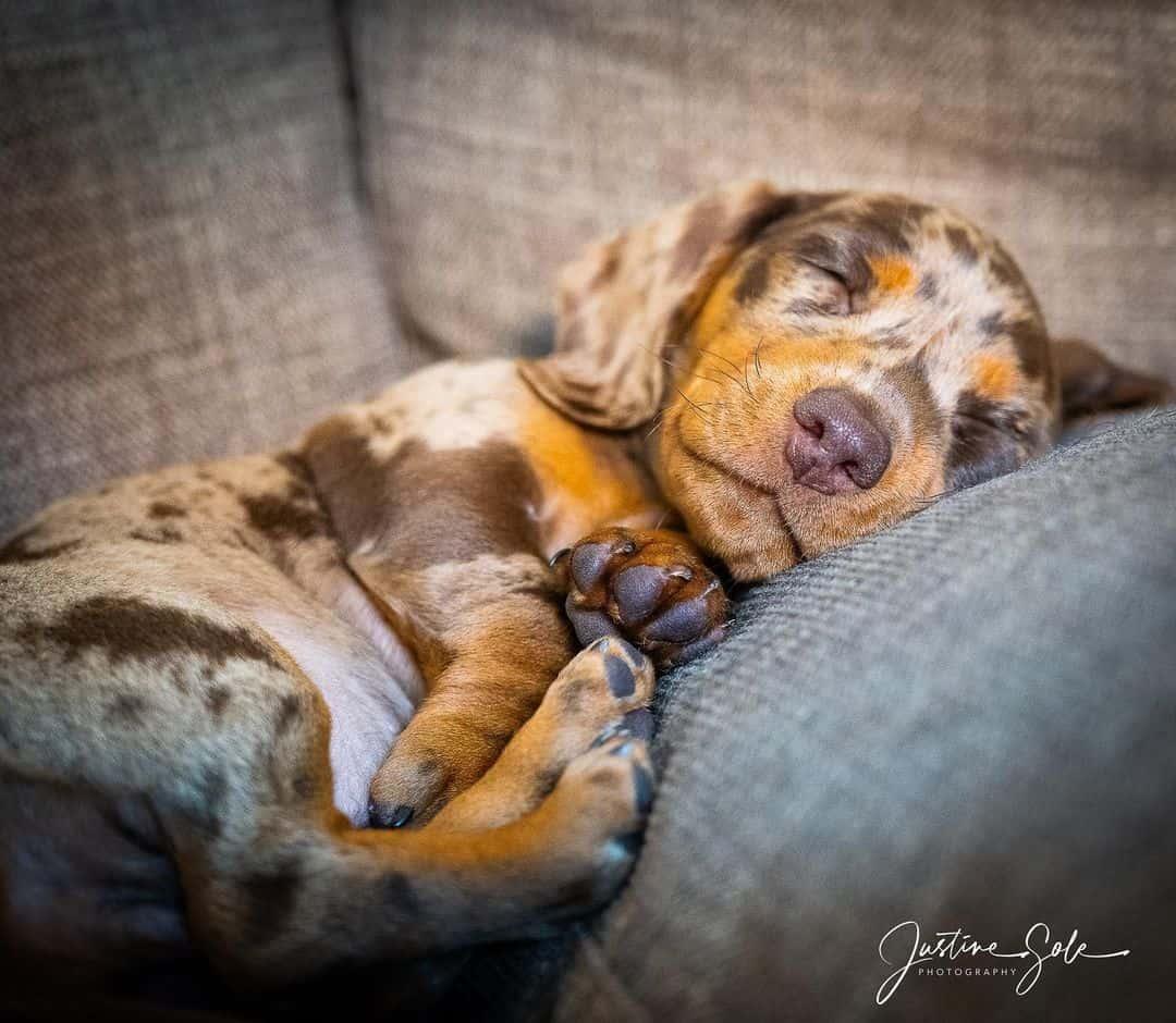 dapple dachshund puppy sleeping