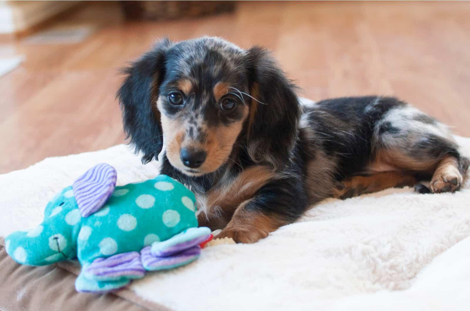 dapple dachshund puppy with toy