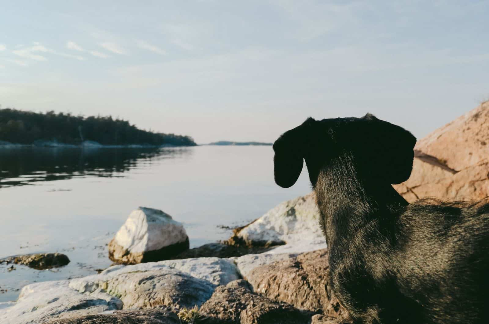 dapple dachshund watching the lake