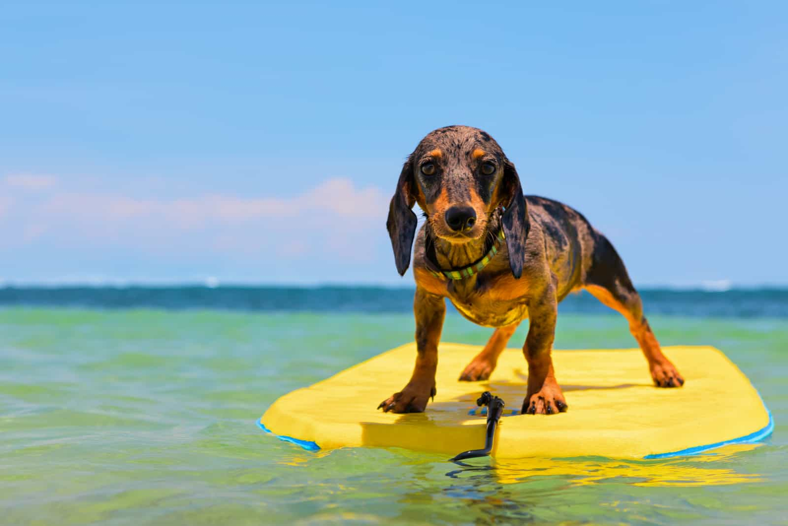 dog surfing on the beach