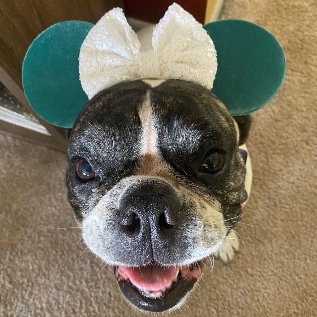 dog wearing minnie mouse ears