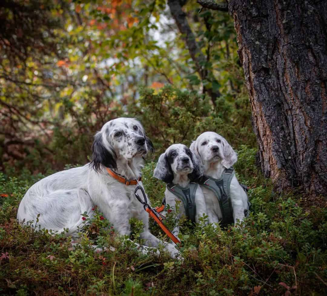 english setter dog with its puppies