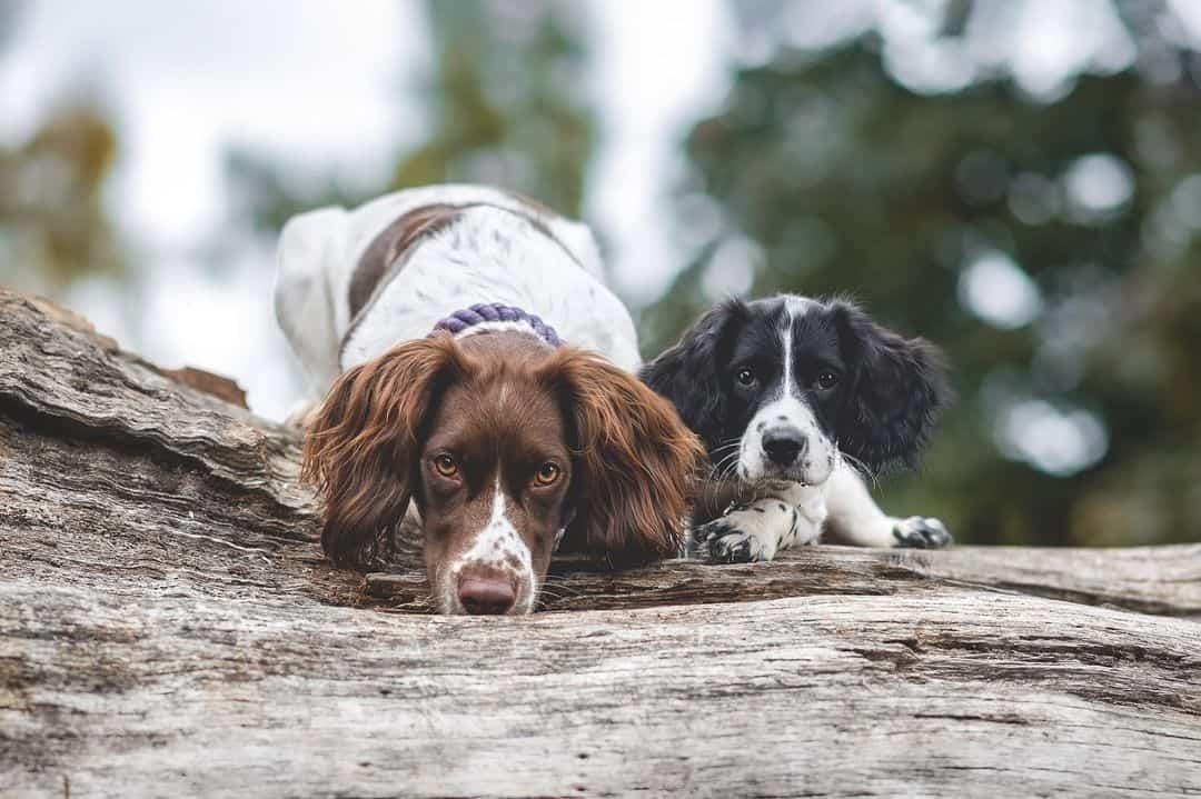 english springer spaniel dogs