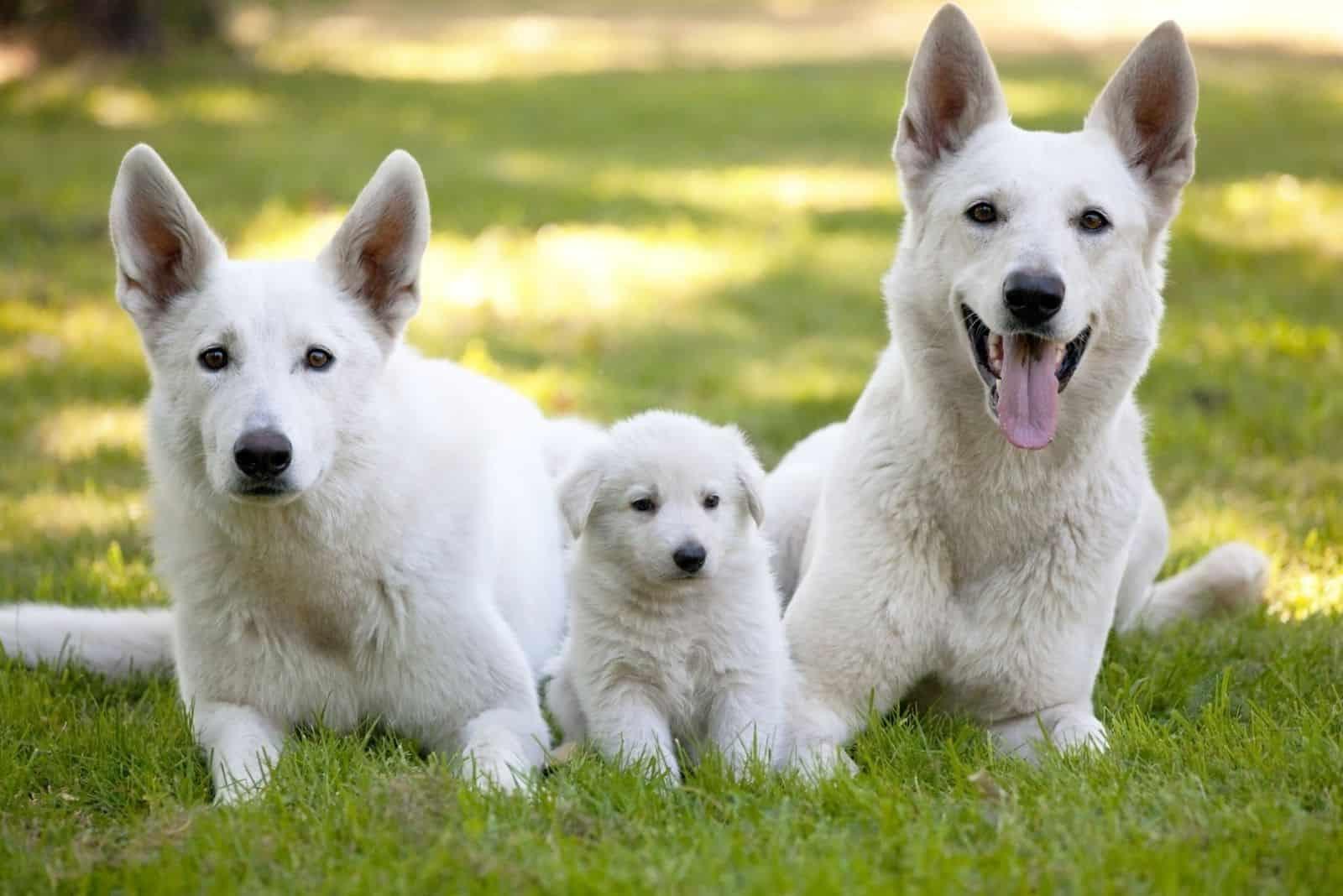 family of white dog german shepherd lying on the grass