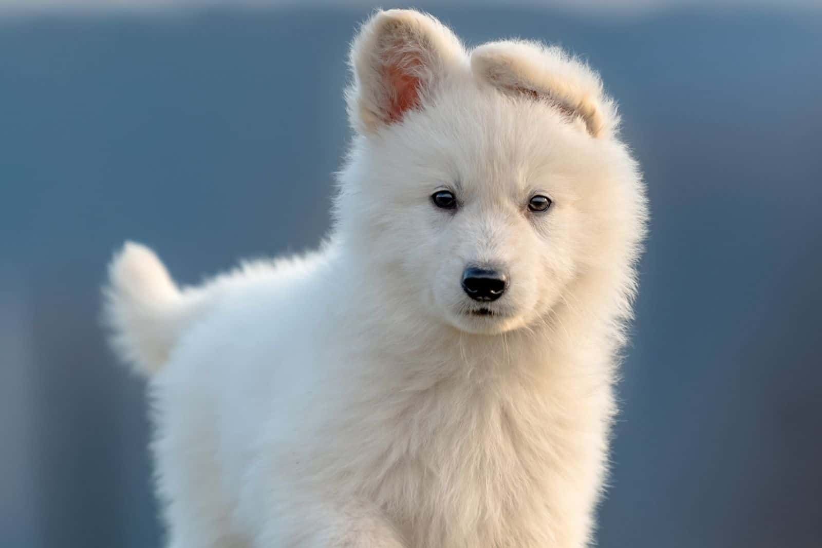 fluffy cute puppy white german shepherd standing and looking at the camera