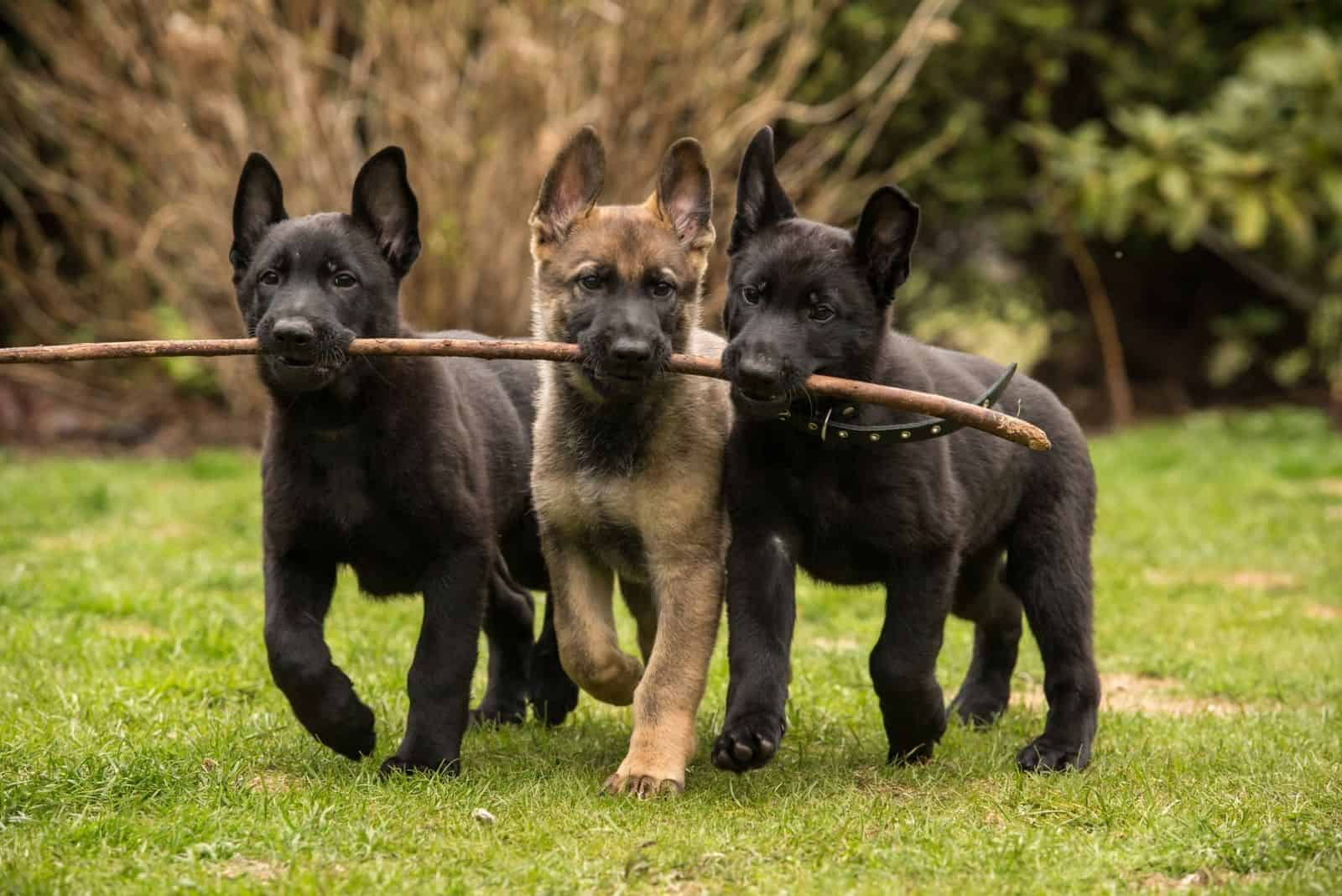 german shepherd puppies with line stick in their mouth