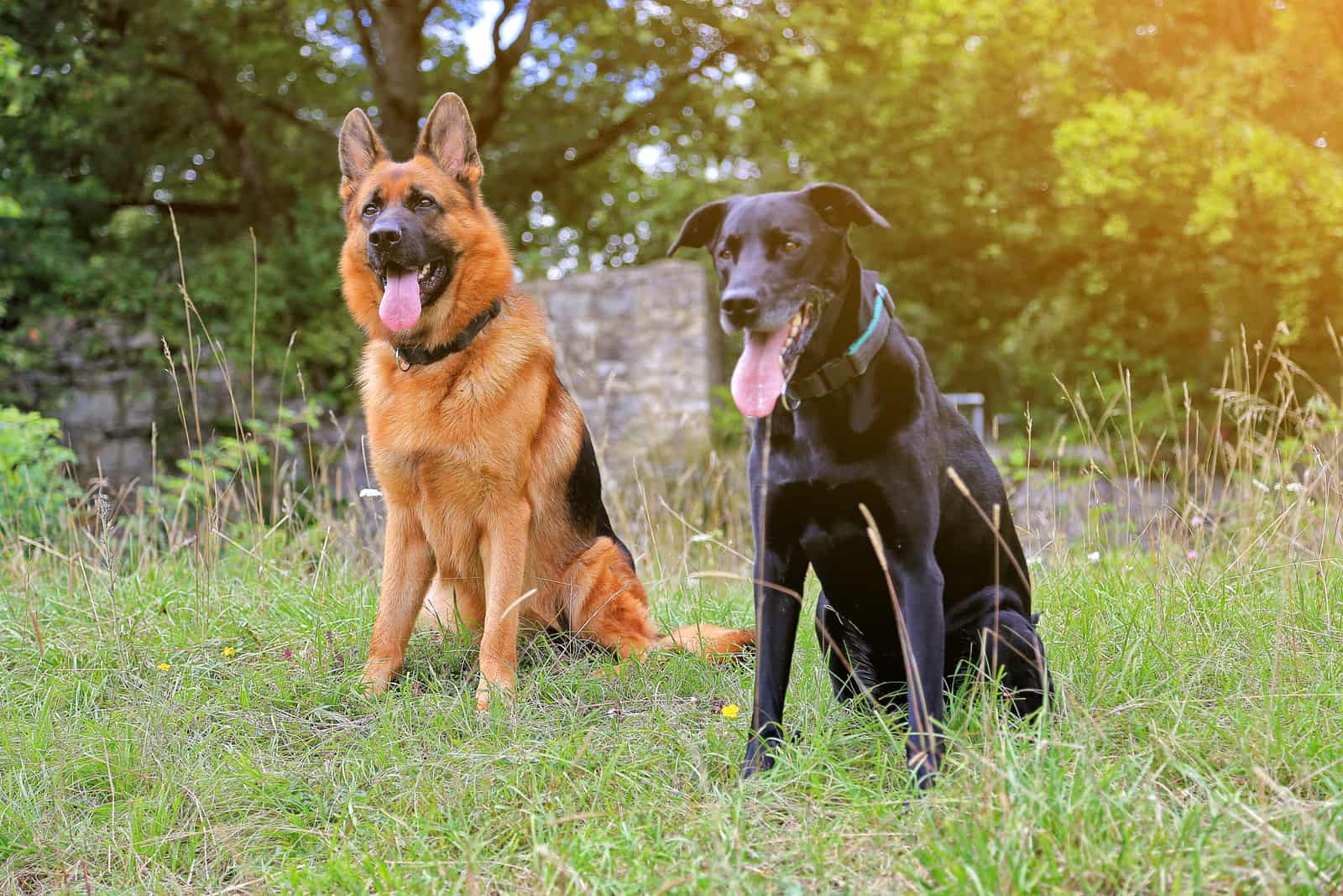 german shepherd and black lab