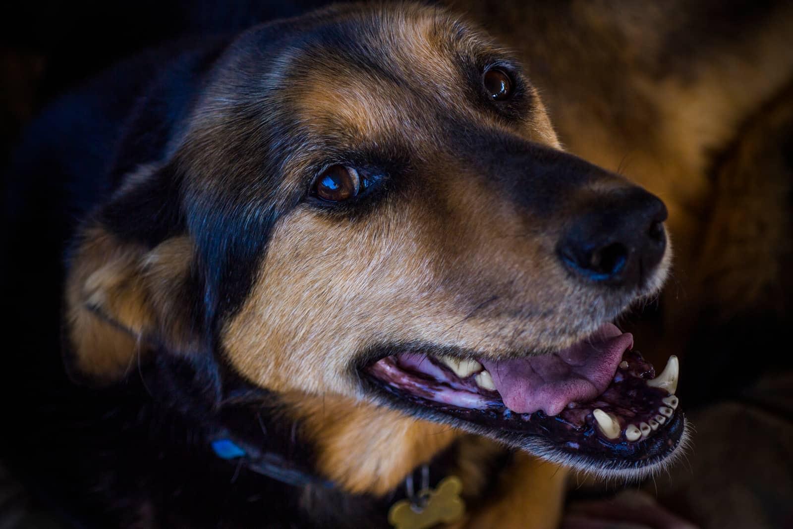 german shepherd and labrador mix dog