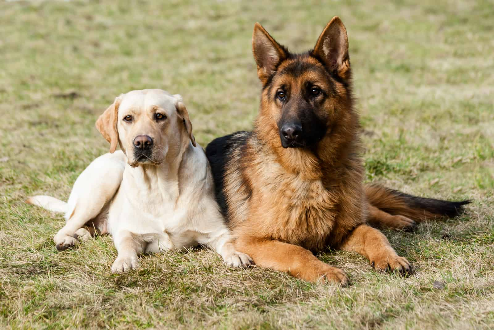 german shepherd and labrador sitting next to each other