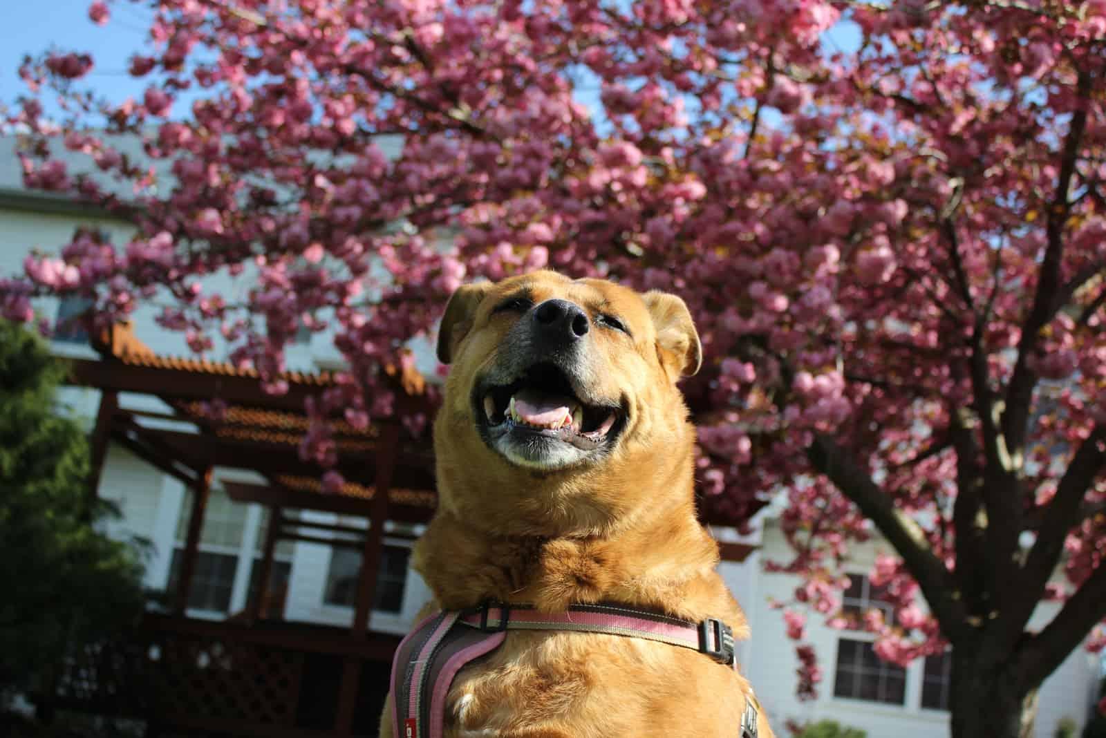 german shepherd lab mix dog smiling