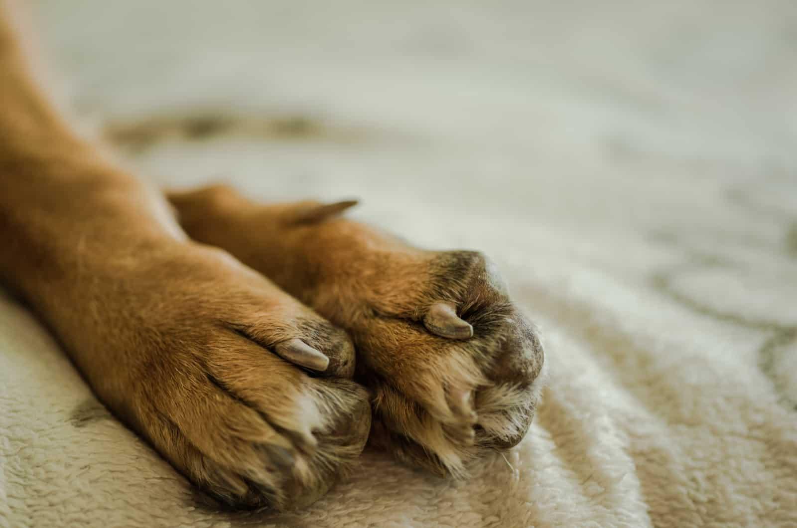 german shepherd paws close-up