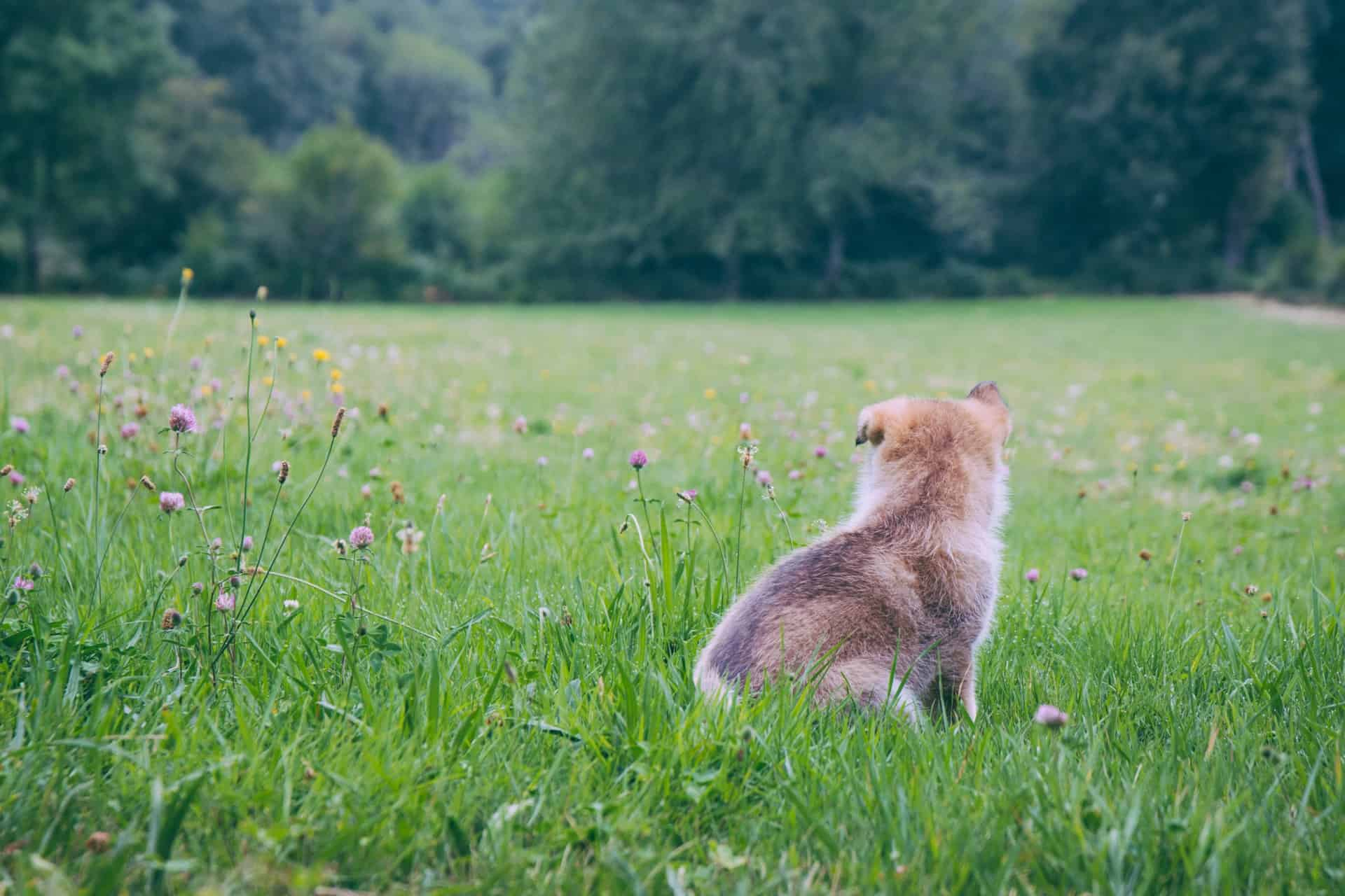 german shepherd pug mix puppy in a field