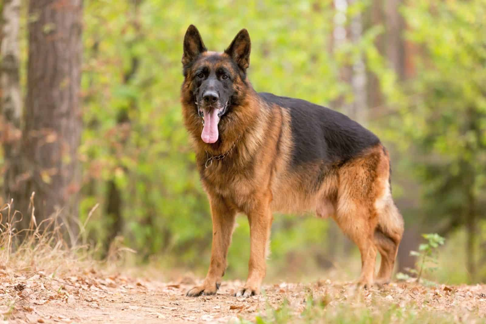german shepherd standing in the middle of the forest
