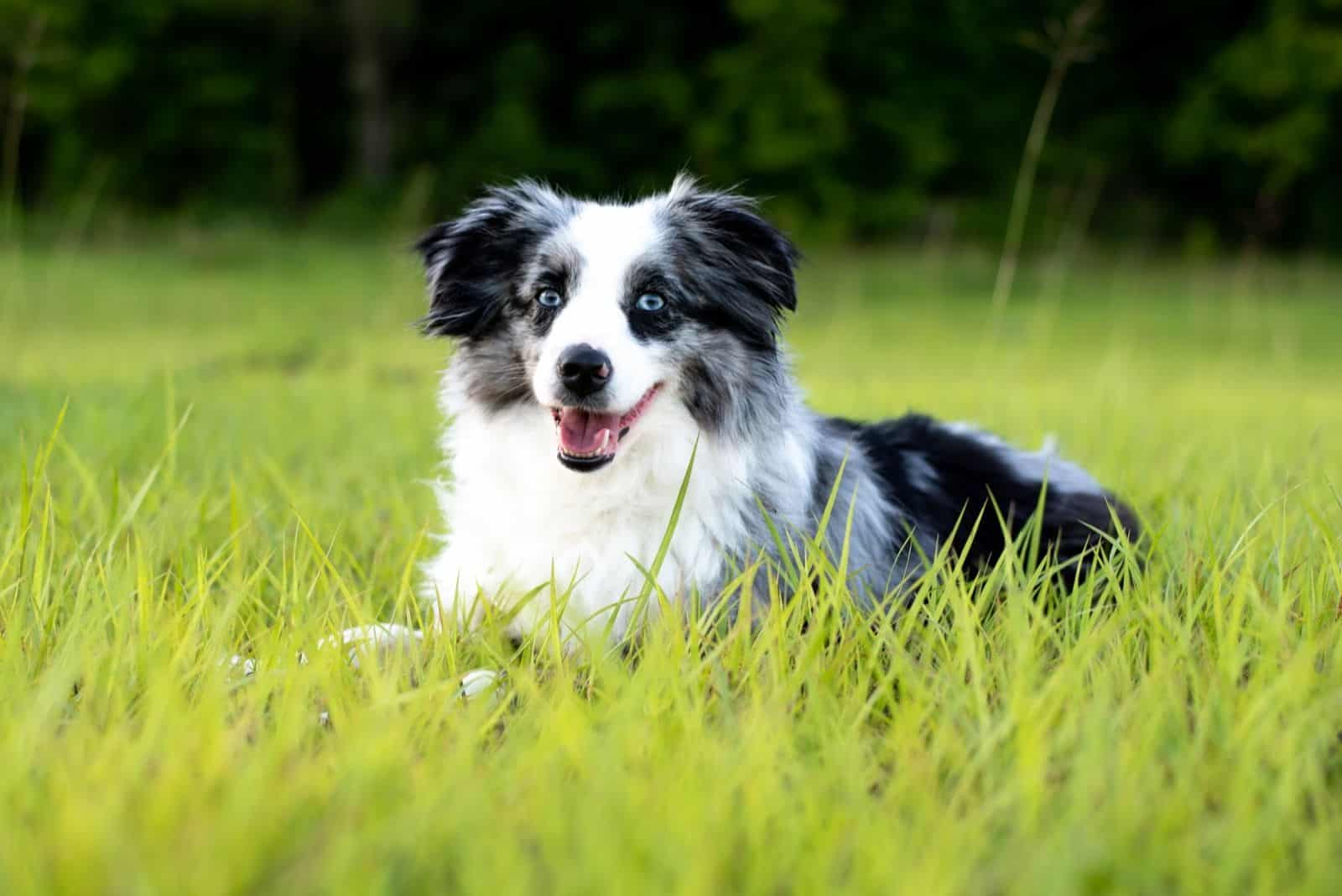 gray and white toy aussie shepard sitting down on the grass