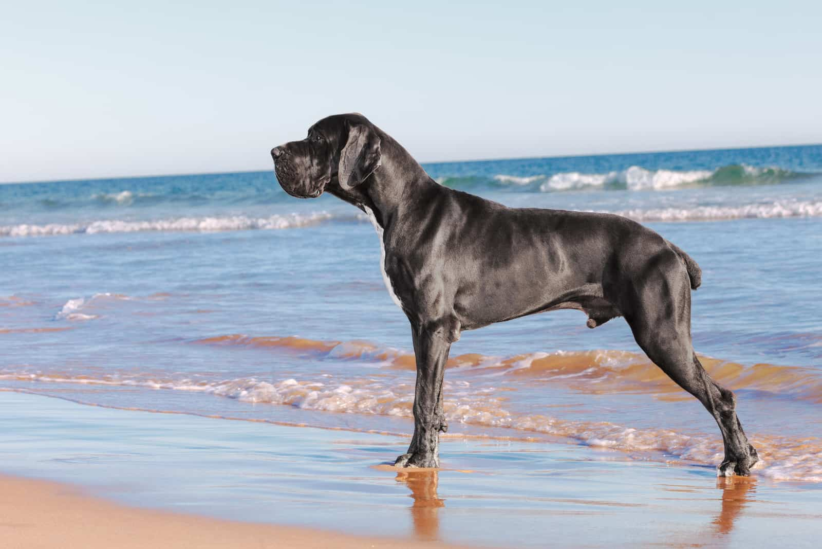 great dane on the beach