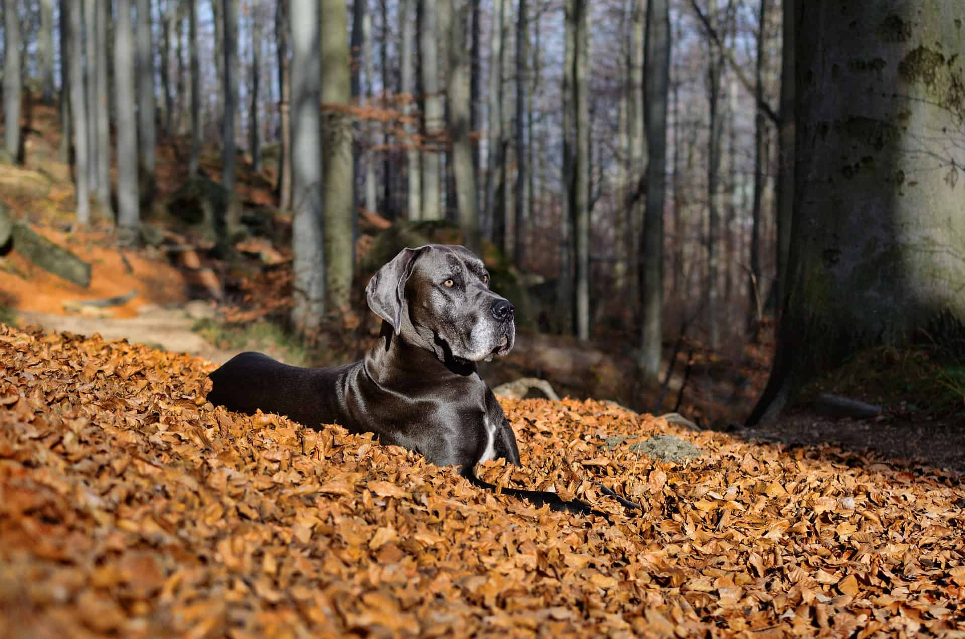 great dane sitting in autumn leaves