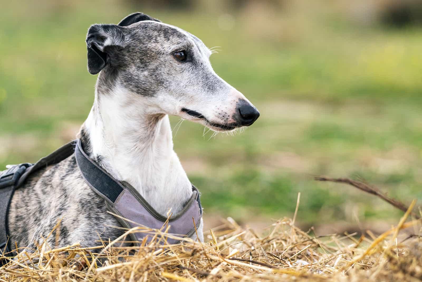 greyhound dog resting