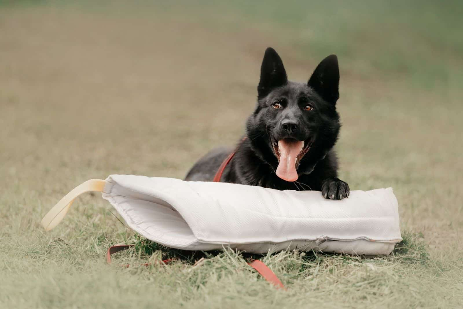 happy german shepherd dog lying down with a protection training sleeve