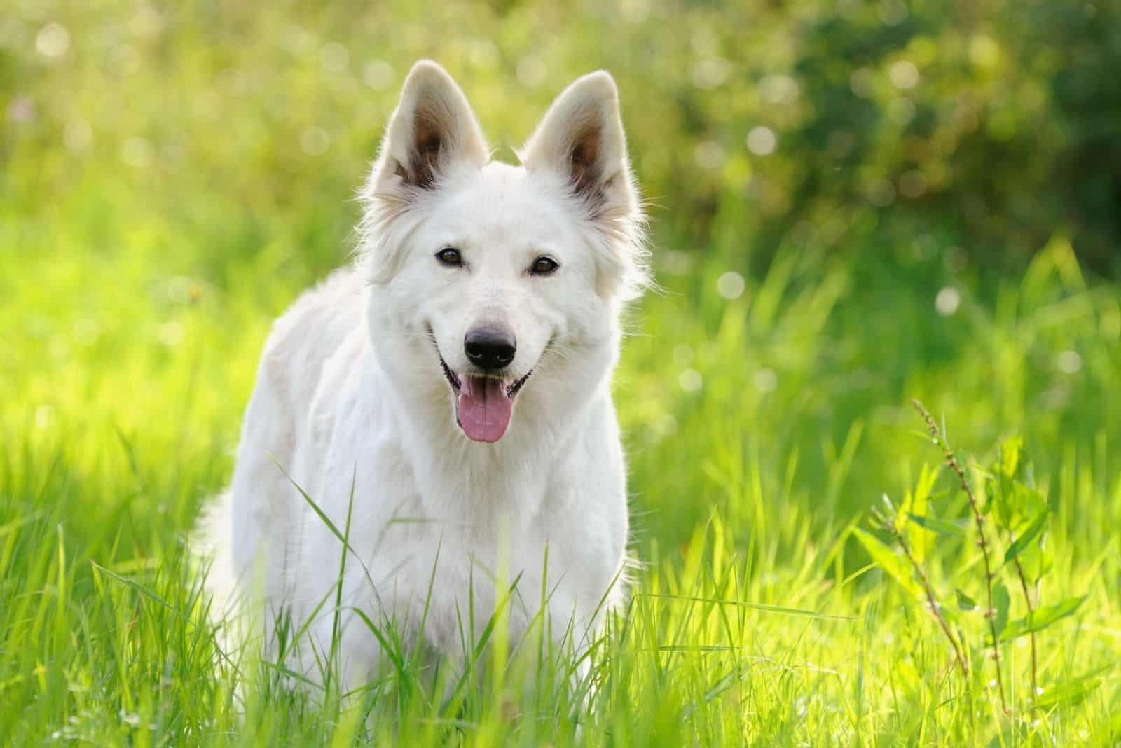 happy white german shepherd dog standing in the grassland