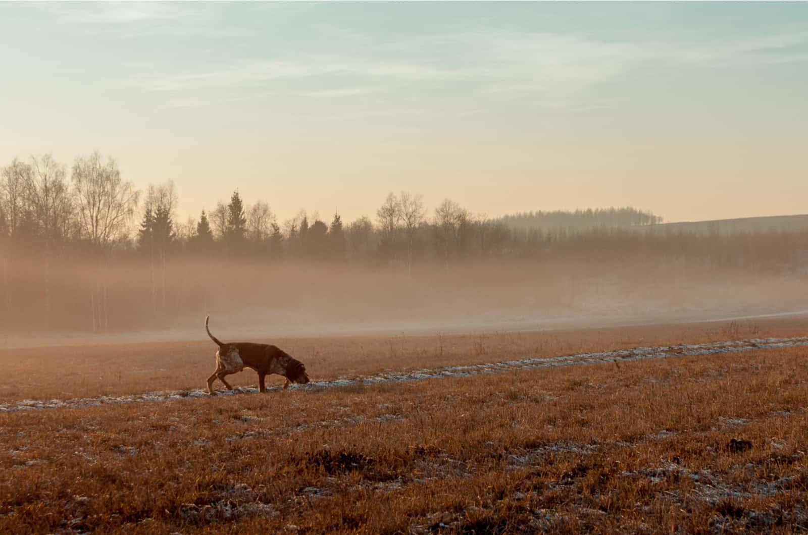 hunting dog photographeed on a foggy morning
