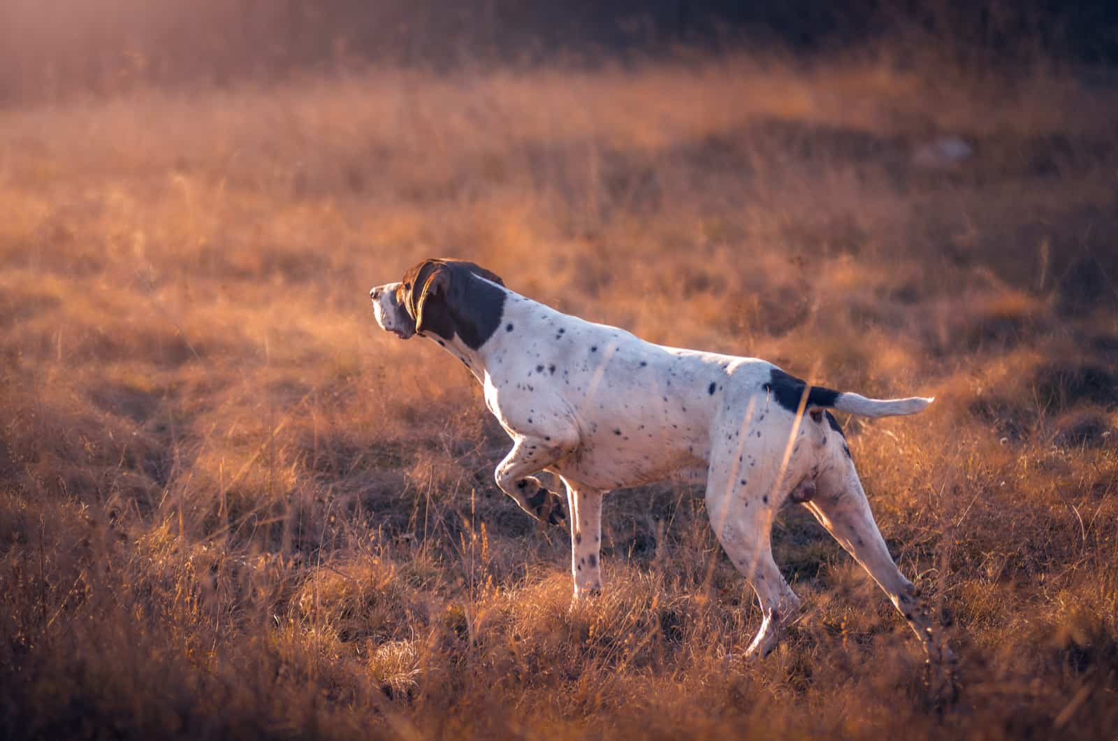 hunting pointer dog in a field