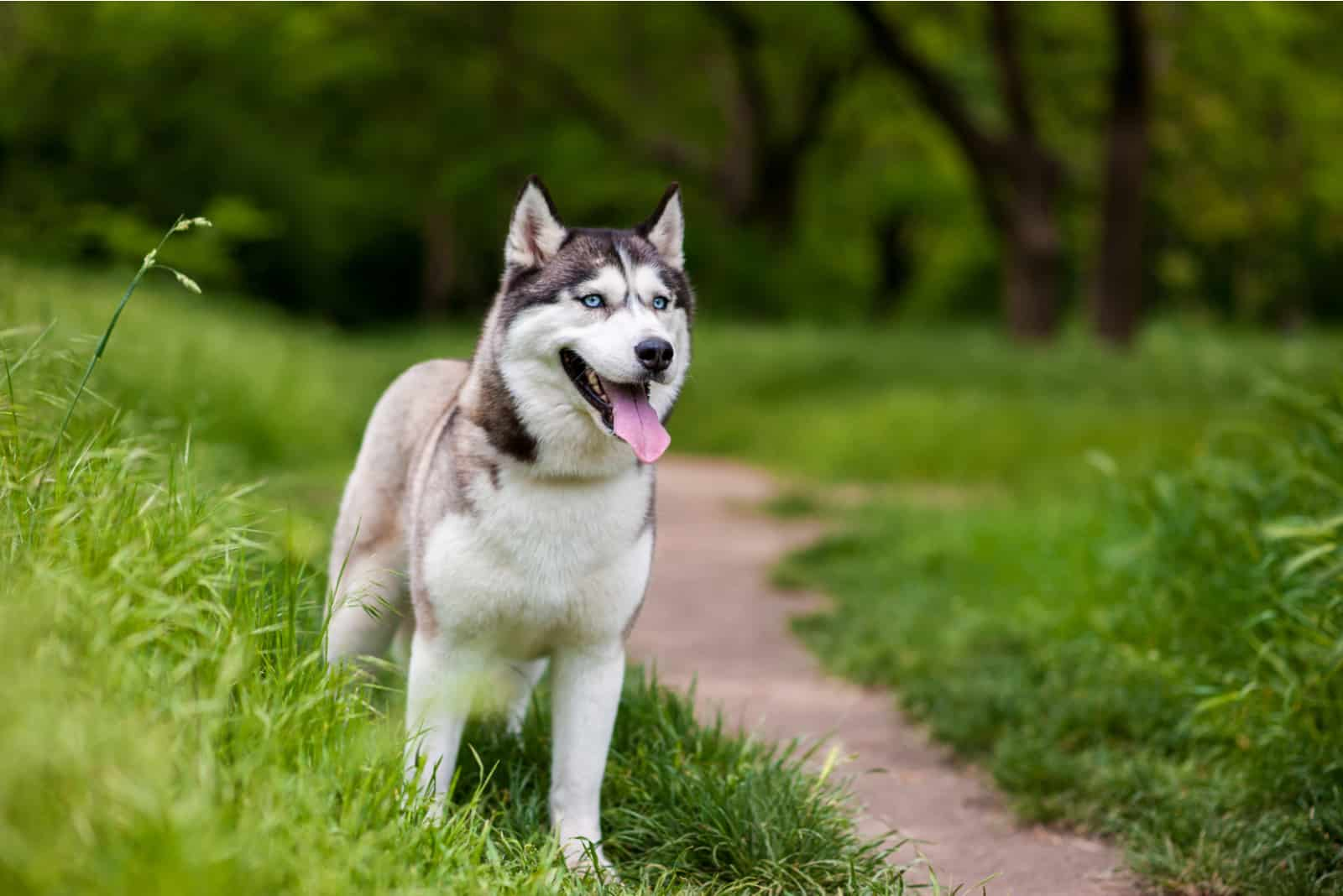 husky dog with blue eyes stands and looks ahead