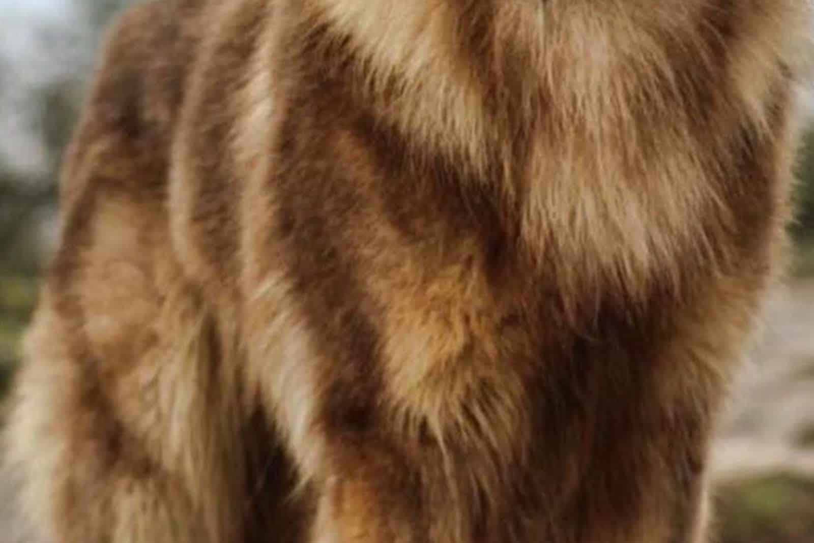 isabella colored fur from a german shepherd in focus