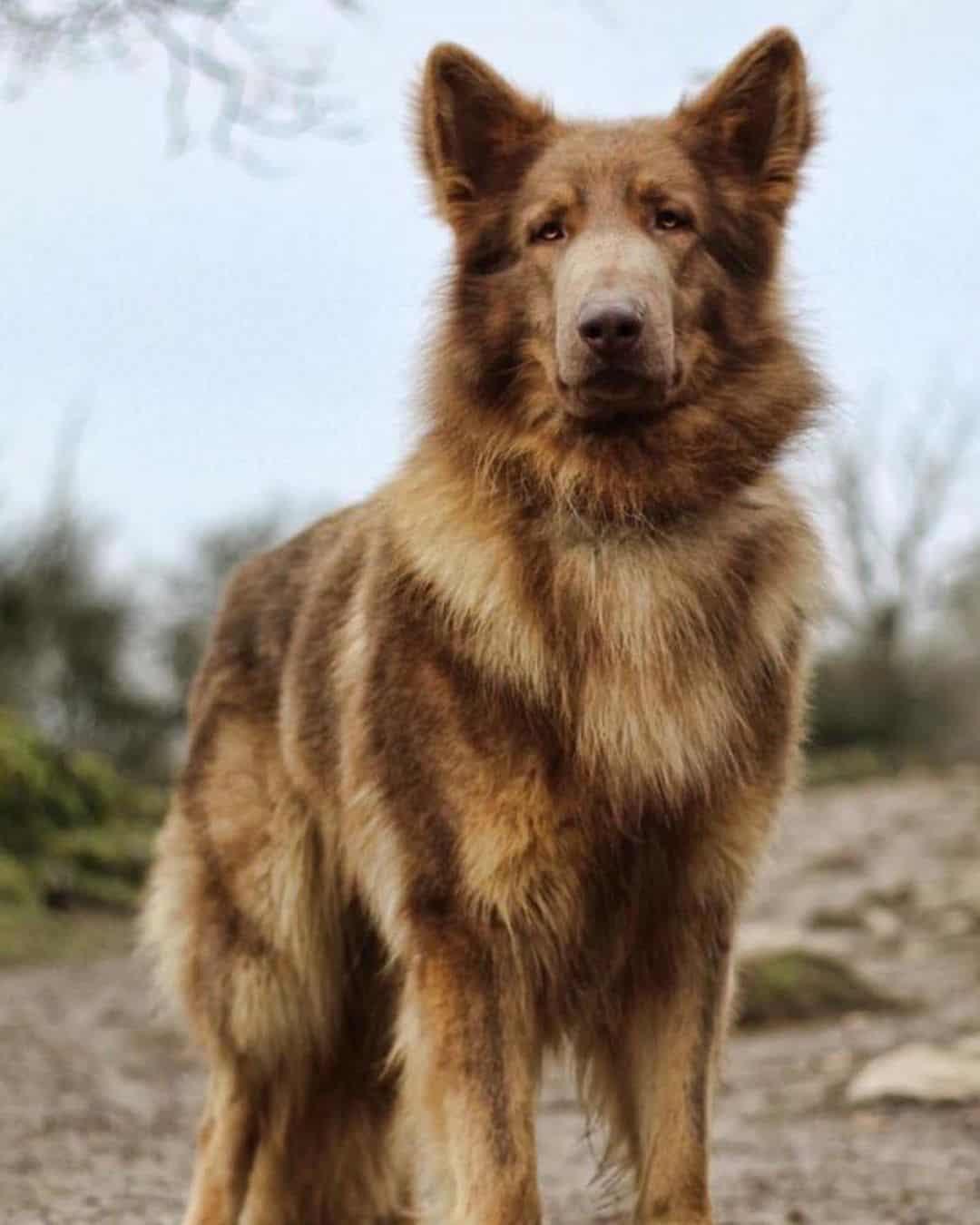 isabella german shepherd dog standing outdoors