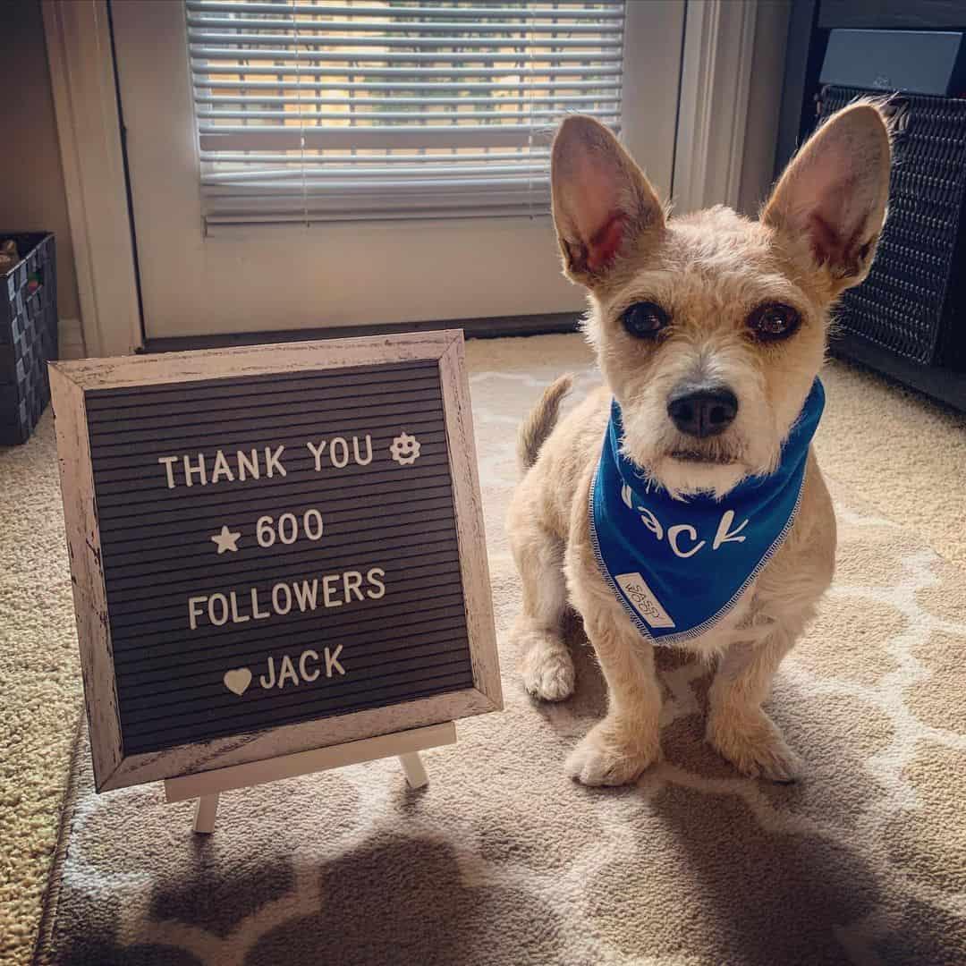 jack the corgipoo posing beside the thank post for IG followers