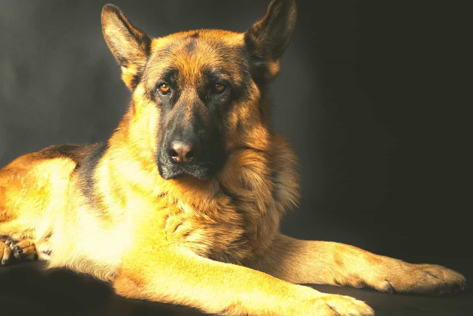 light color gsd lying down in a dark room
