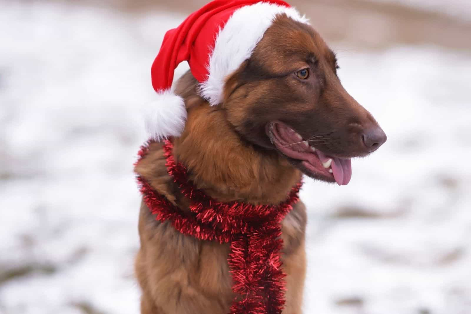 long-haired German Shepherd dog posing outdoors sitting on a snow in winter wearing a Santa hat and a red long tinsel.