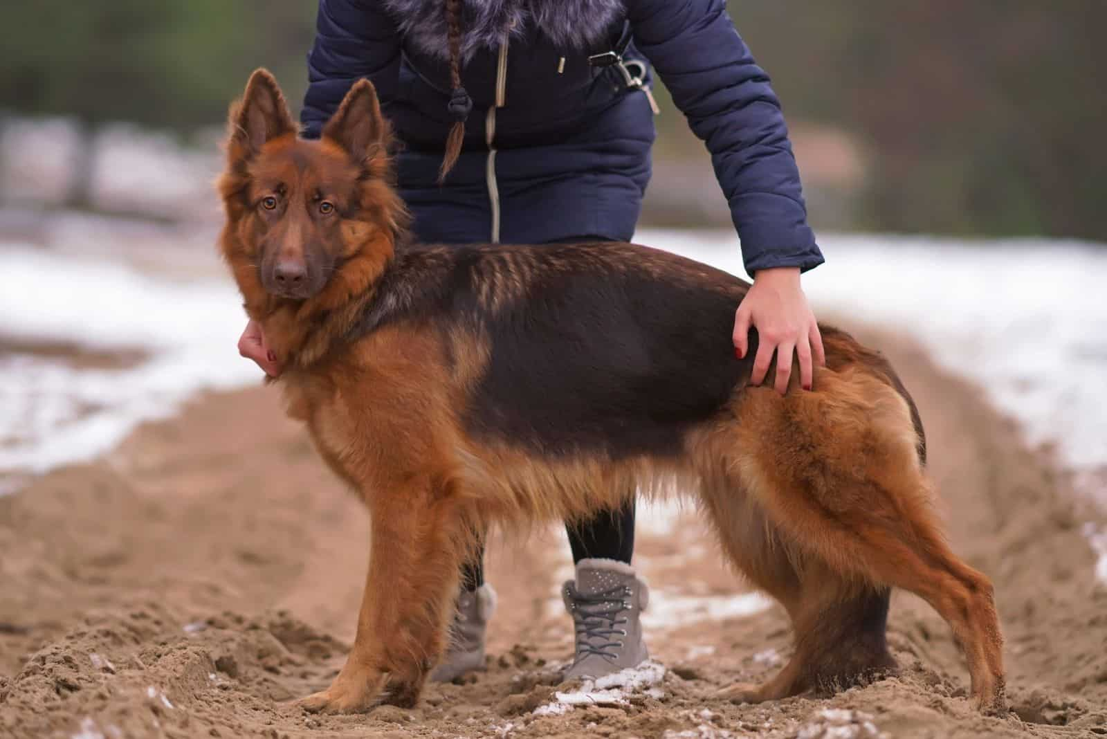 long-haired German Shepherd dog posing outdoors held by its owner standing on a snowy sand in winter