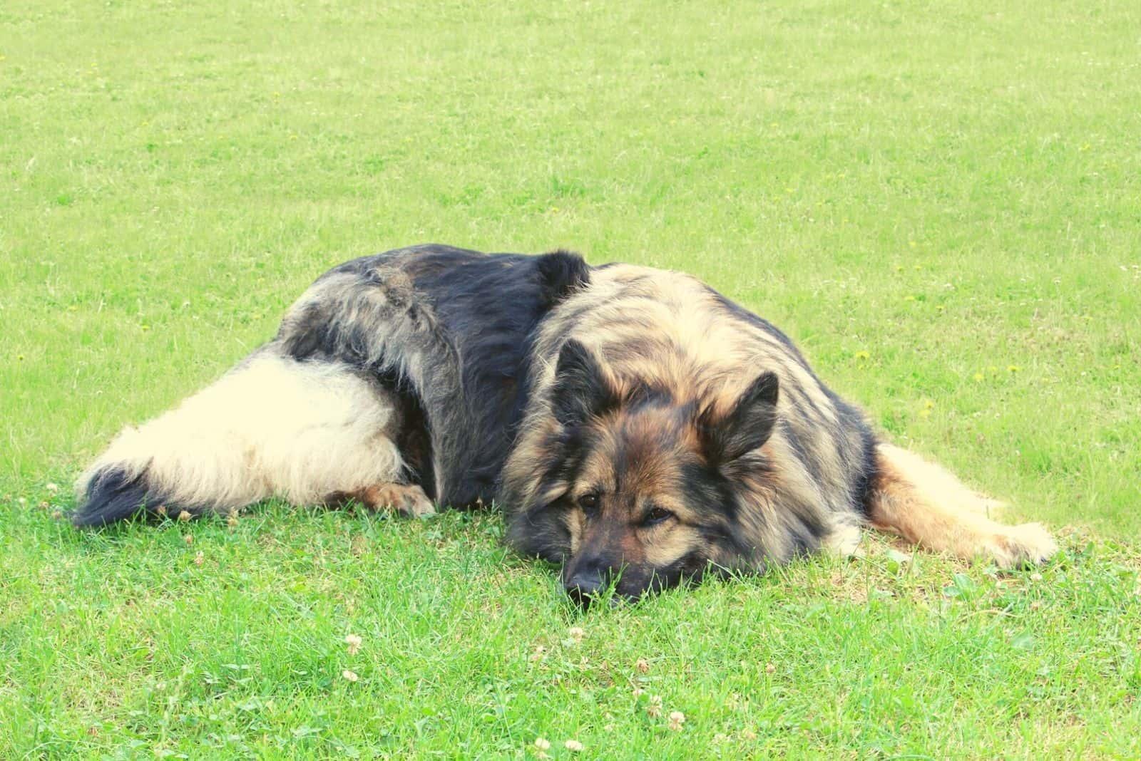 longcoat sable german shepherd dog female lying down on the ground
