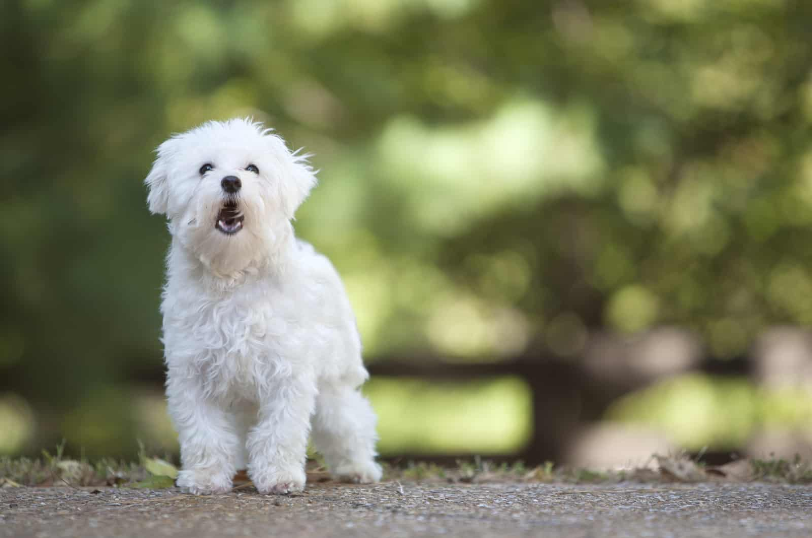 maltese dog posing