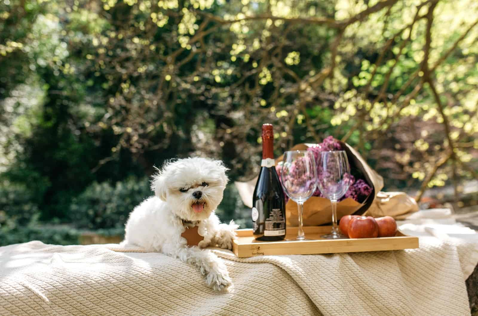 maltese posing next to champagne and glasses