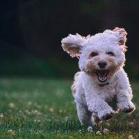 maltese puppy running