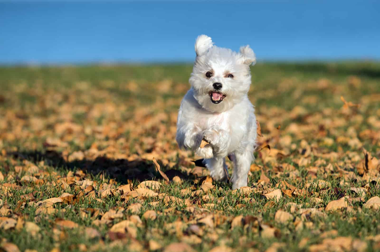 maltese running on leaves
