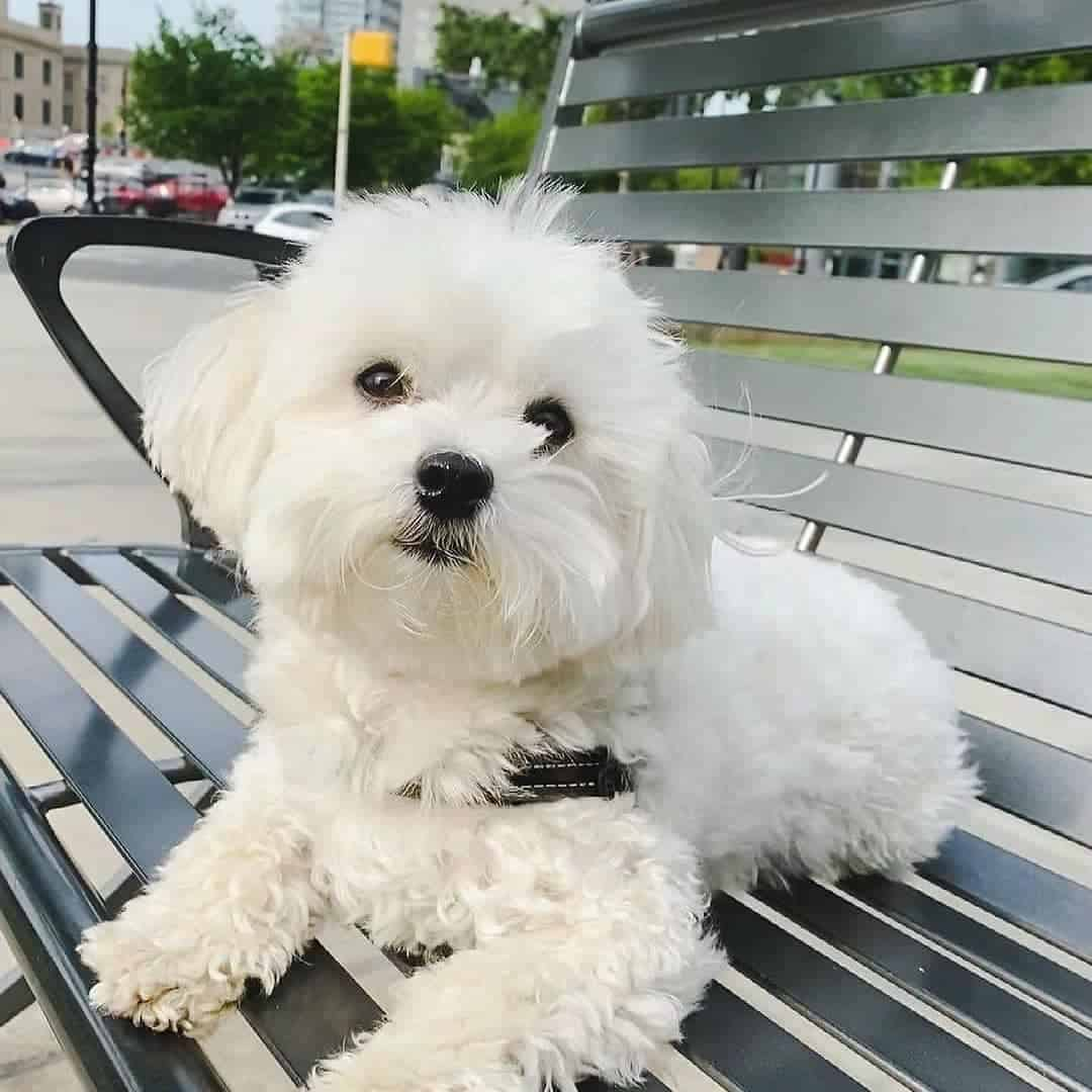 maltese sitting on a bench