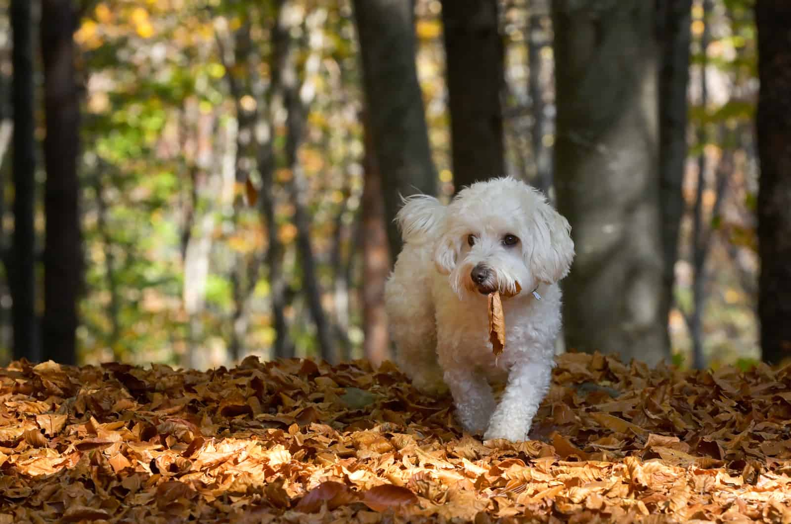 maltese walking through forest carrying a leaf