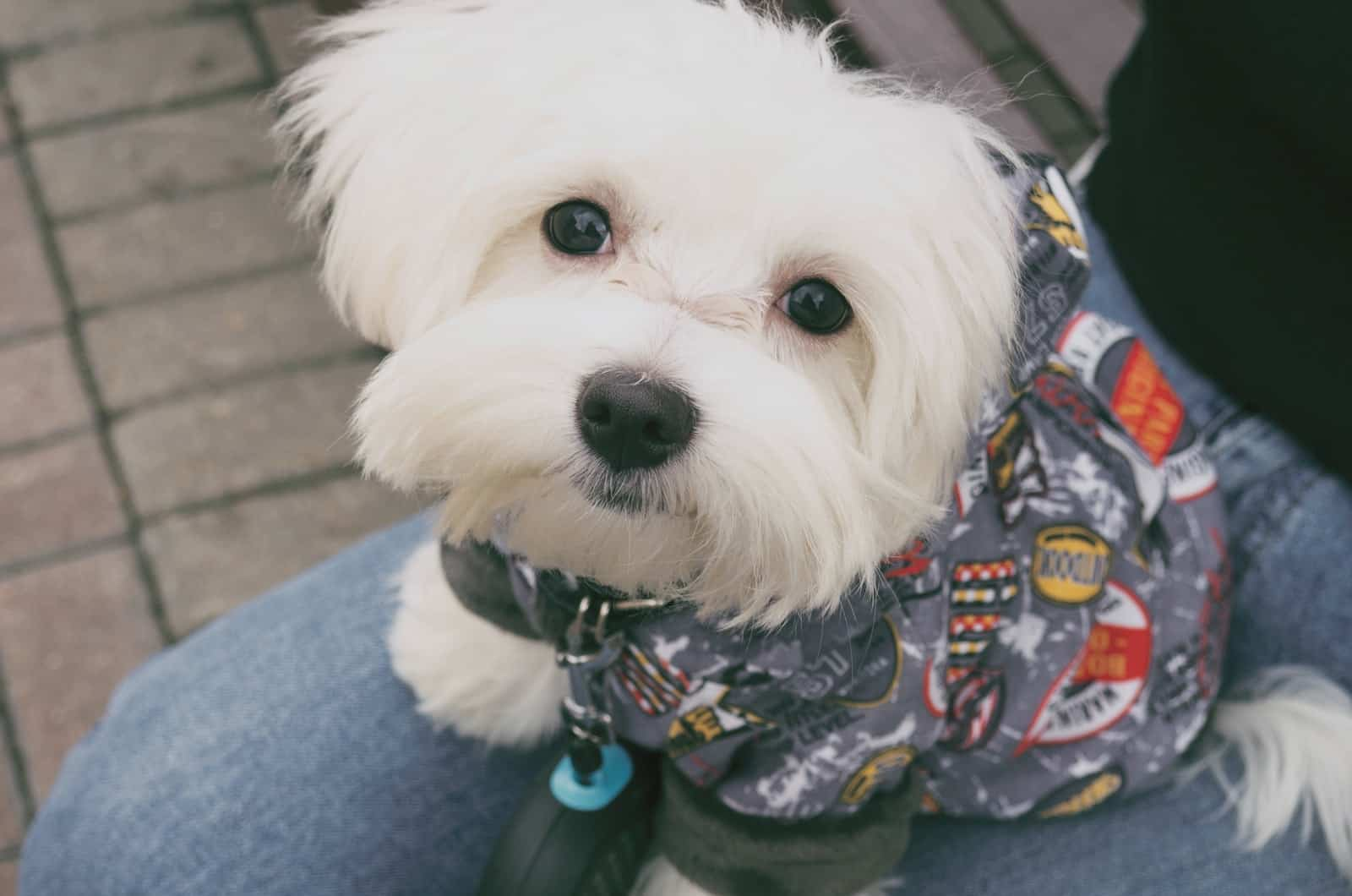 maltese wearing clothes