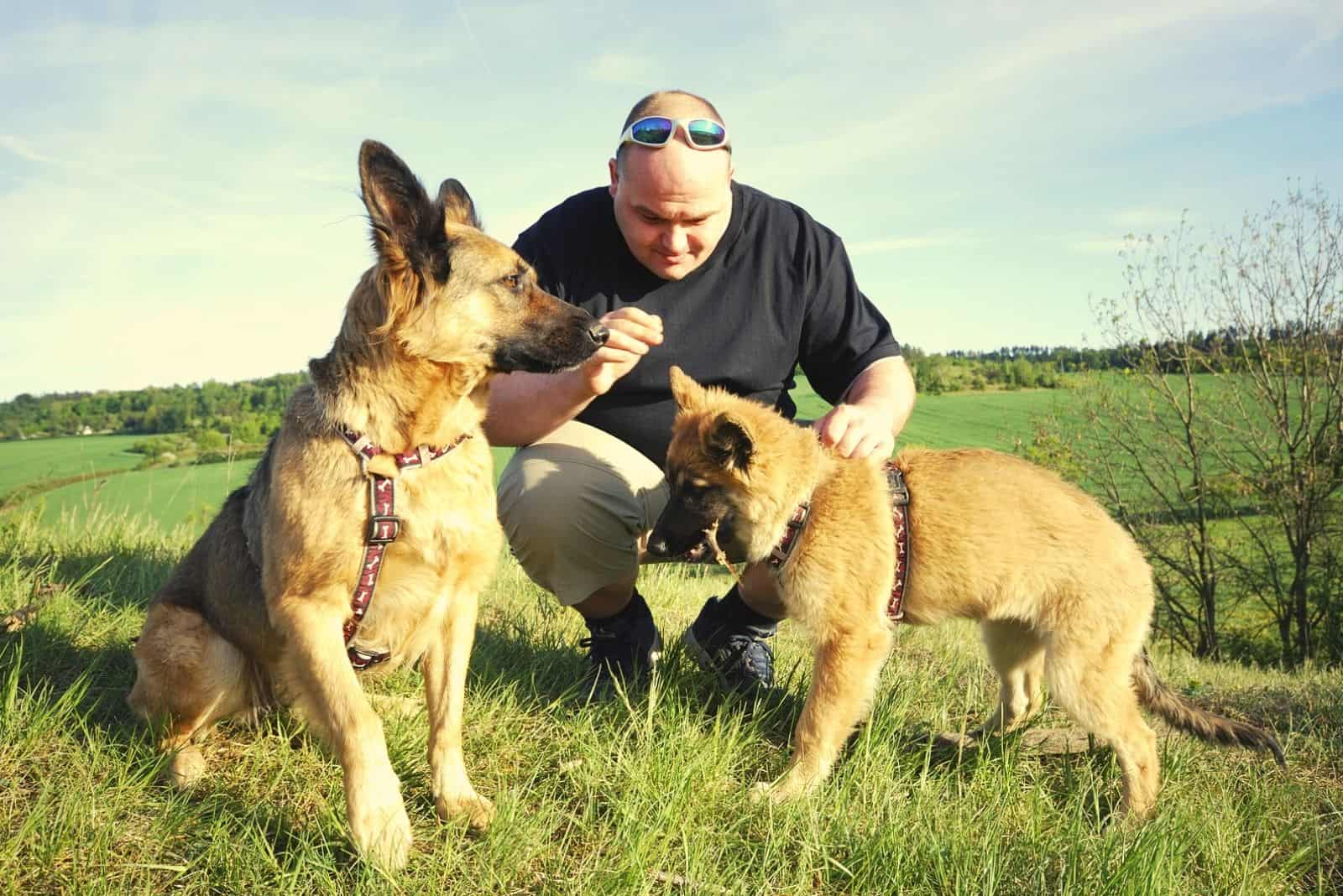 man with german shepherds with isabella color puppies