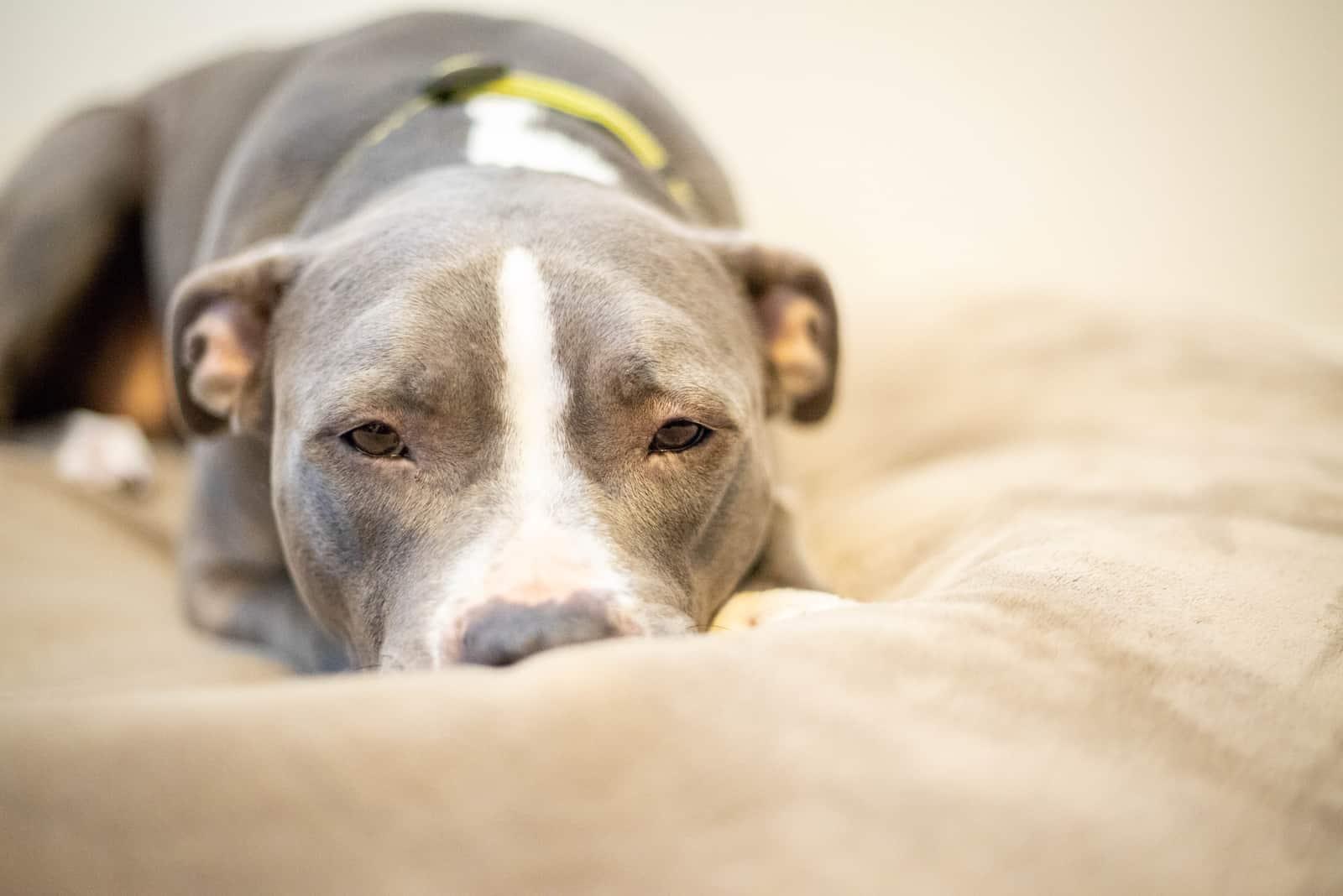 pitbull napping