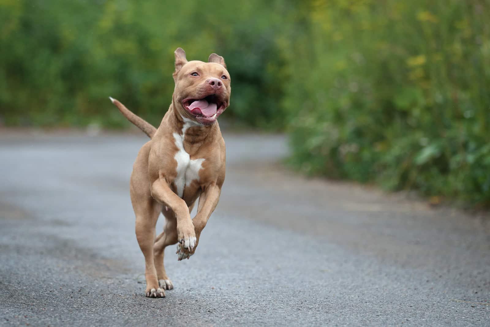 pitbull running