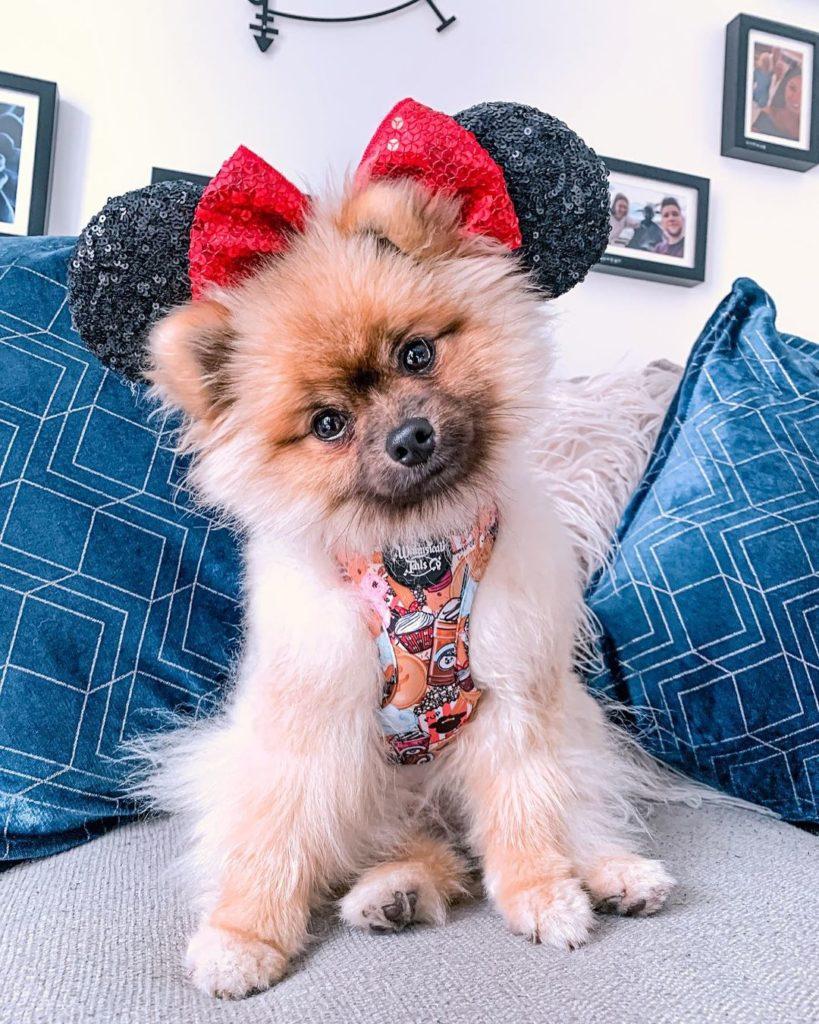 pomeranian dog wearing minnie mouse ears