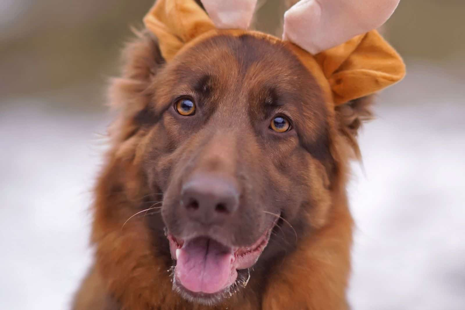 portrait of a funny long-haired GSD posing outdoors with a plush deer horns headband on its head in winter forest
