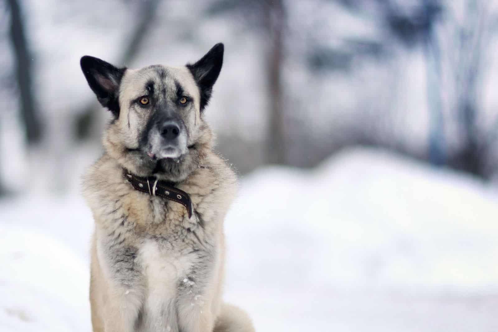 portrait of german shepherd dog standing in the snowy forest