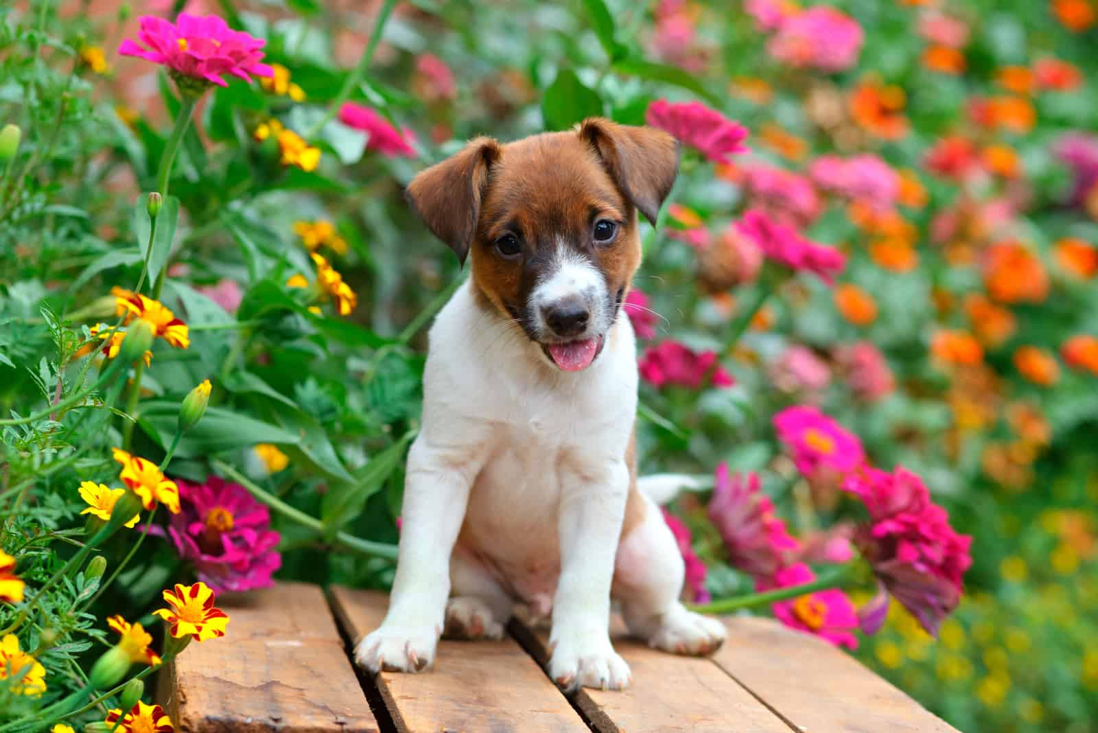 puppy sitting on old wooden crate in a garden full of colorful flowers