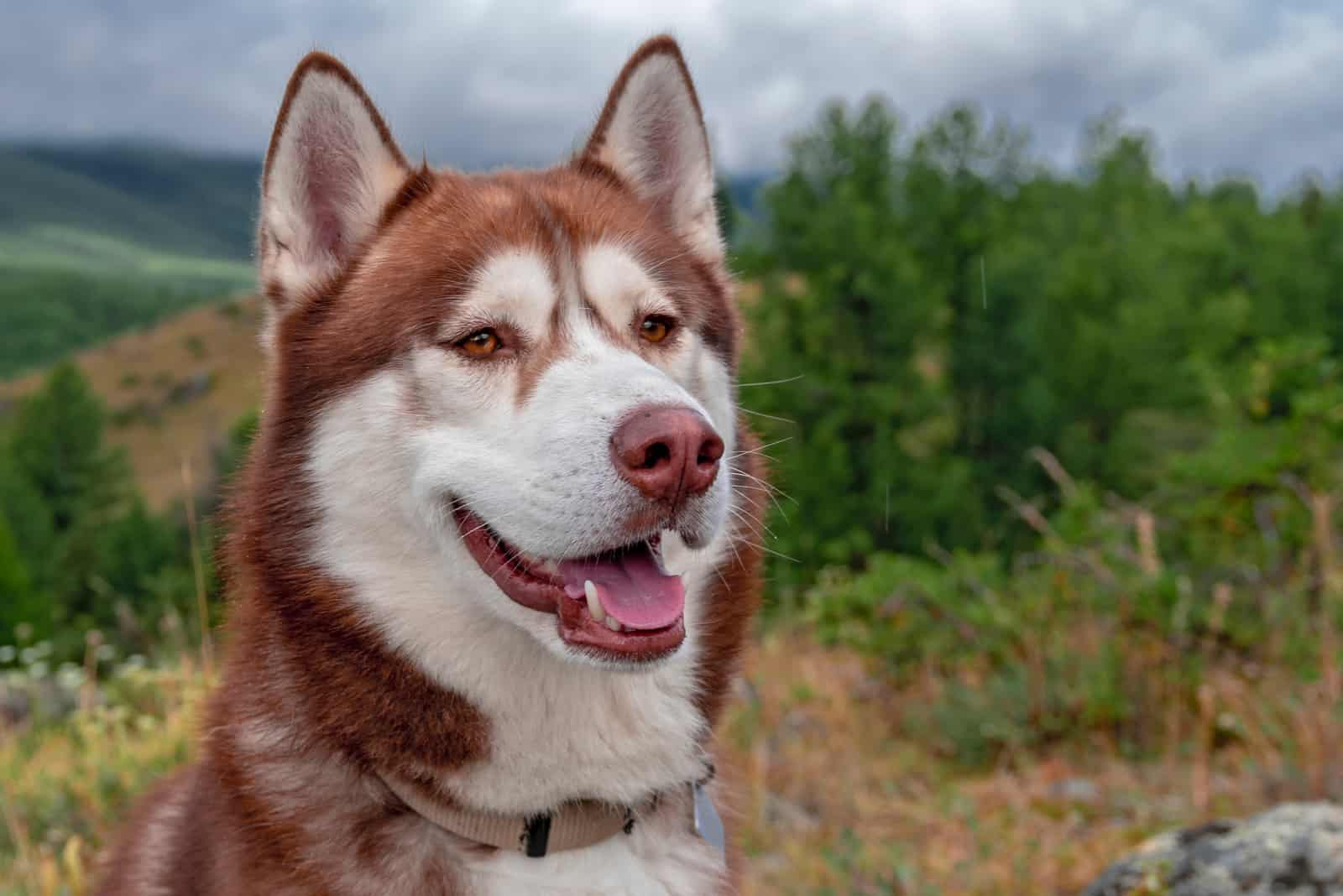 red Siberian husky dog in misty mountains