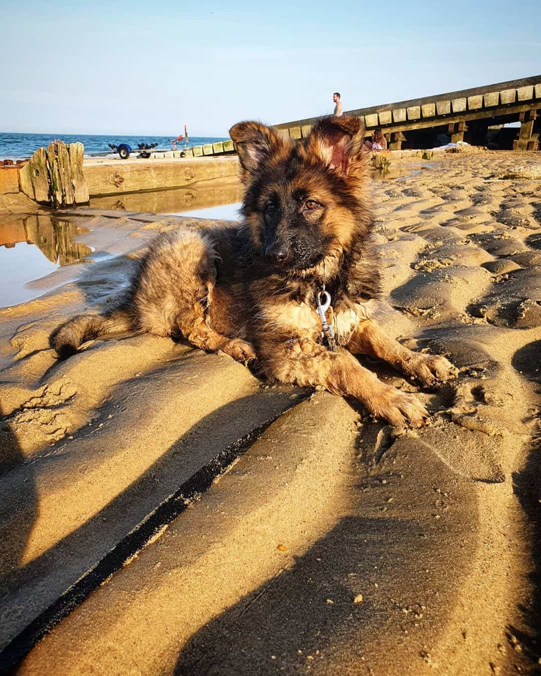 sable german shepherd dog on the beach